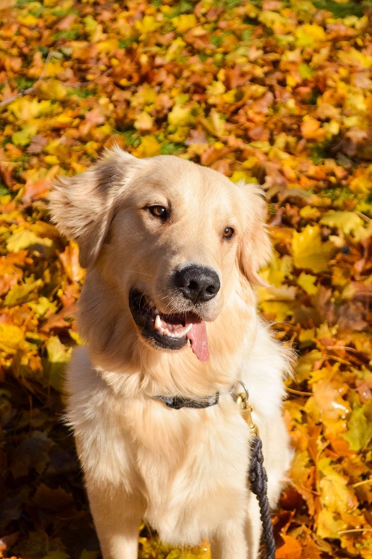 Golden Retriever from Maine who loves the outdoors! Dogs
