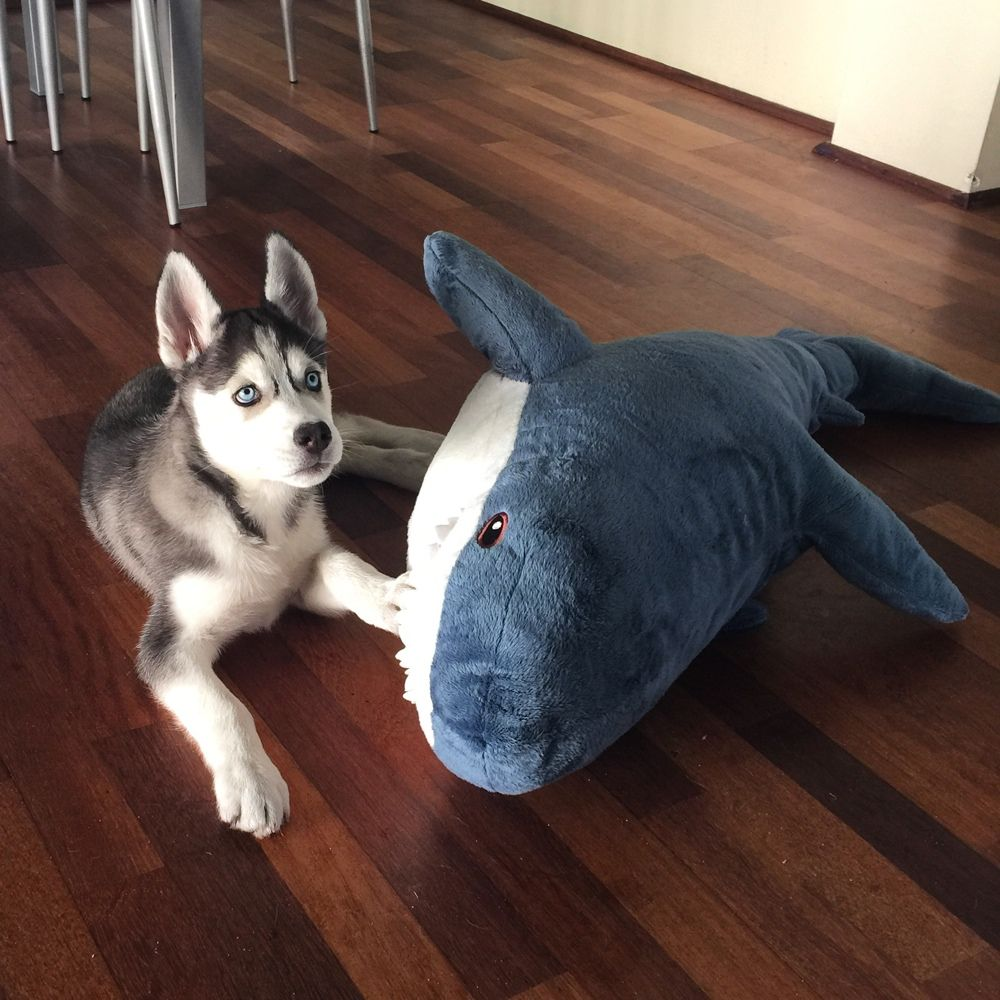 Husky Puppy Abby with Giant Ikea Shark! Black/White blue