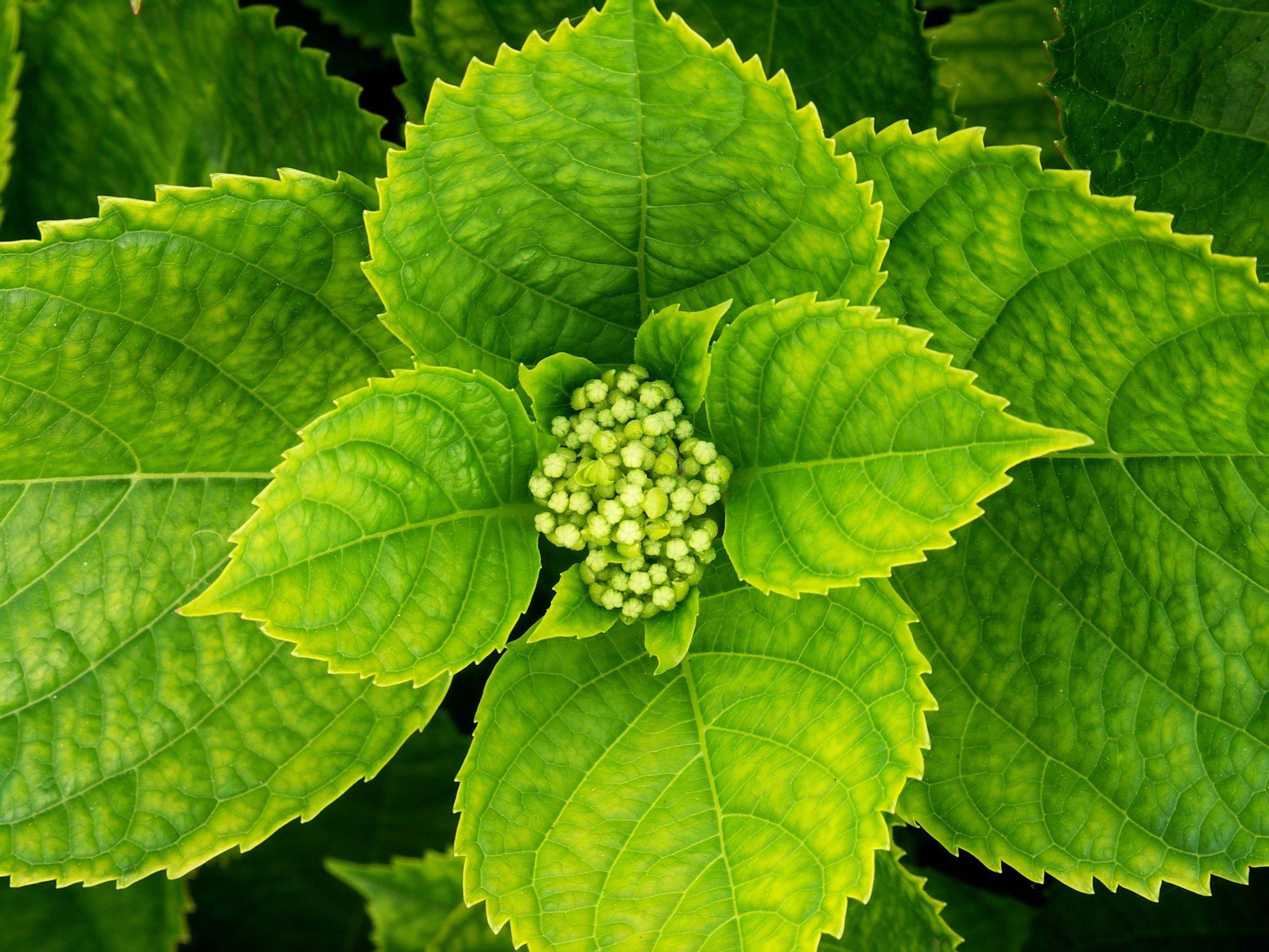 Young Inflorescences [In the Bud-stage] of Hydrangea macrophylla