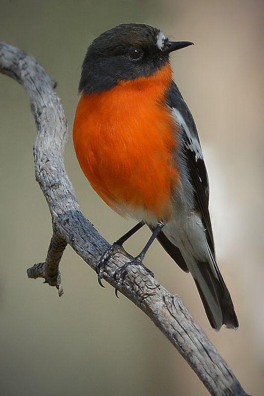 Flame Robin, male by birdsaspoetry**