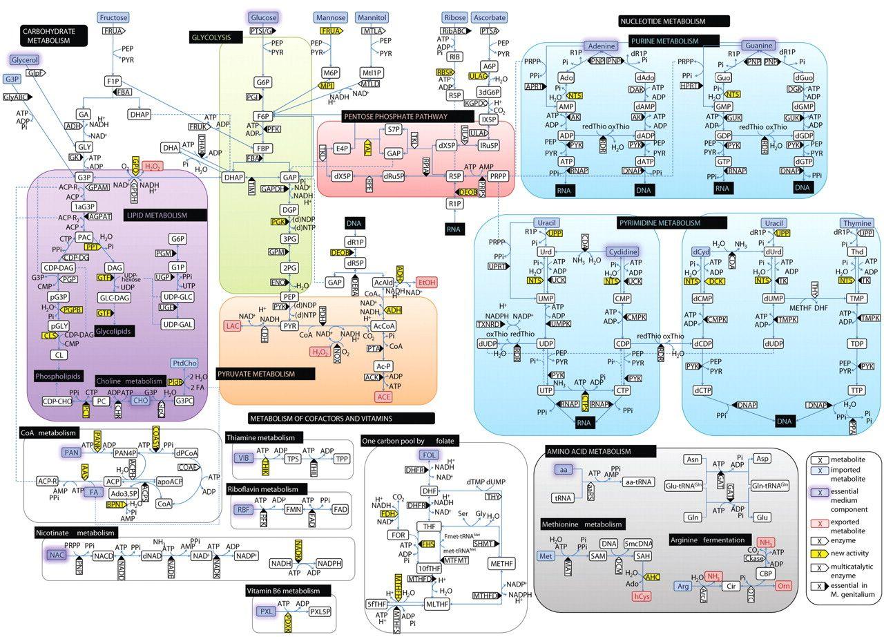 Glucose Metabolism Diagram Metabolic pathway reminds
