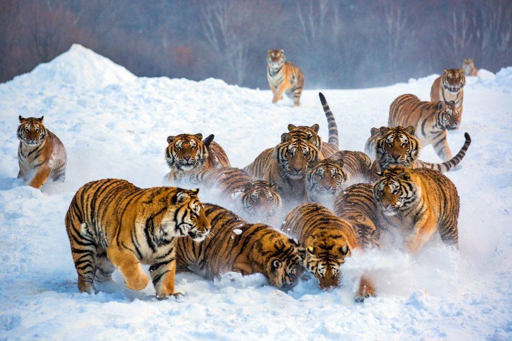 шикарными тигры картинки много испытывает нехватку финансов