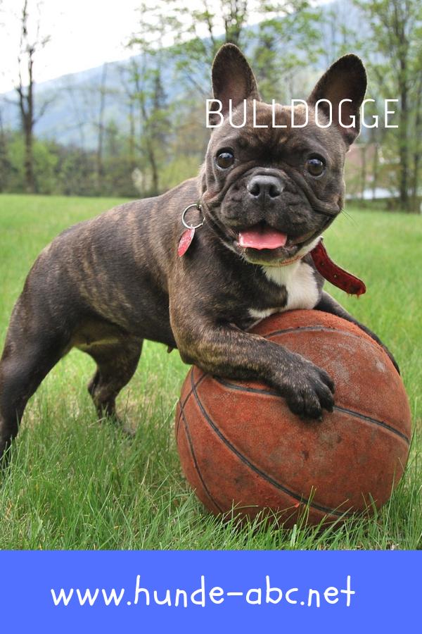Bulldogge Liebenswerte Hausgenossen Mit Gedrungenem Aussehen