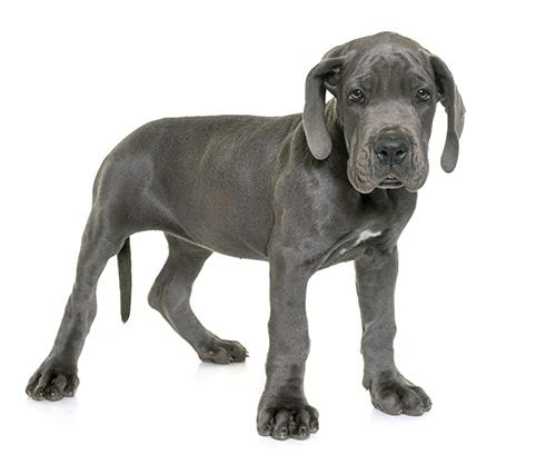 Cute Great Dane Dane Puppies Great Dane Great Dane Puppy