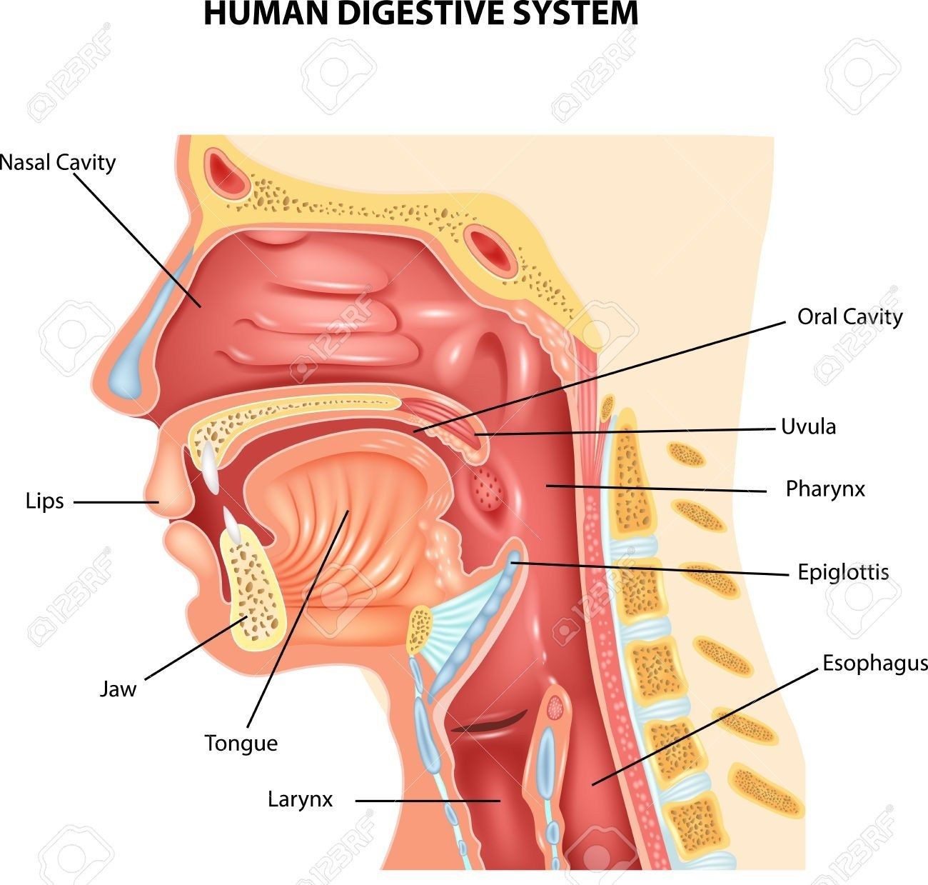 small resolution of human throat anatomy human mouth system human mouth system diagram of the mouth and