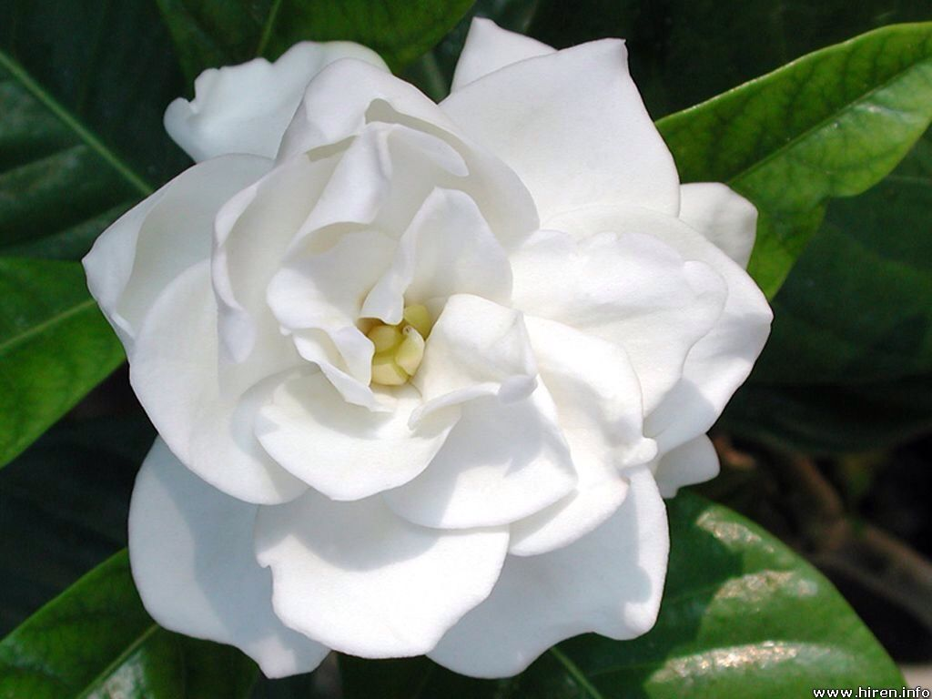 Gardenia Is A Genus Of Flowering Plants In The Coffee Family Rubiaceae Native To The Tropical And Subtropical Regions Of Africa Flowers Plants Popular Flowers