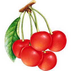 Вишня — растение. Описание вишни с картинками | Вишня ...