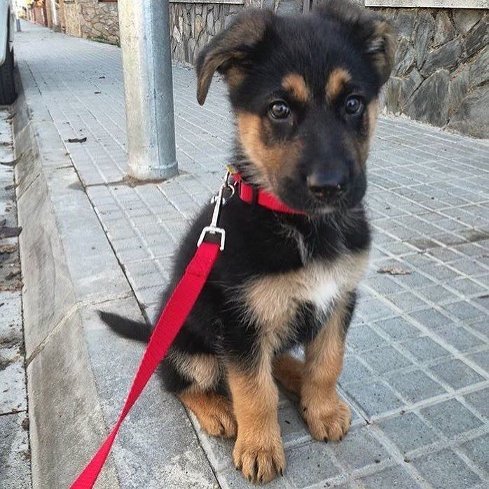 GSD Puppy in 2020 Cute dogs, Cute german shepherd