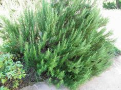 Zone 5 Rosemary Plants Tips On Growing Rosemary In Zone 5 Growing Rosemary Rosemary Plant Winter Plants