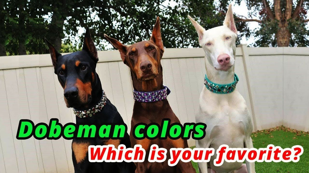 5 Types Of Doberman Colors And Their Roles Doberman Colors With