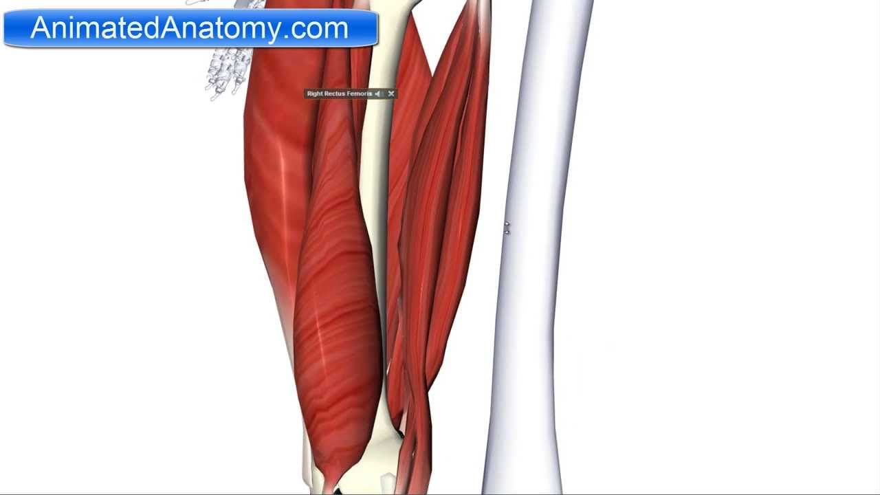 Muscles of the Thigh Part 2 - Posterior Compartment/Hamstring ...