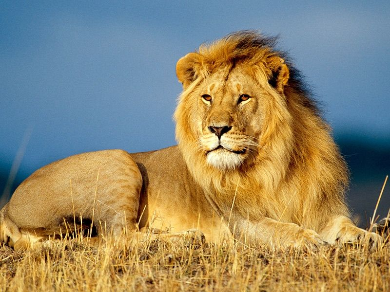 Lion Gallery Images Pics Photos Pictures Photography Lion Pictures African Animals African Lion