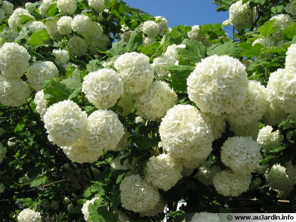 boule de neige viorne obier ou viburnum opulus des fleurs qui ressemblent aux hortensias. Black Bedroom Furniture Sets. Home Design Ideas