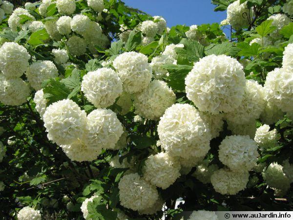 Boule de neige viorne obier ou viburnum opulus des fleurs qui ressemblent aux hortensias - Boule en verre pour plante ...