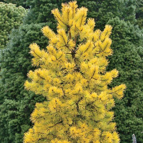 Yellow evergreen