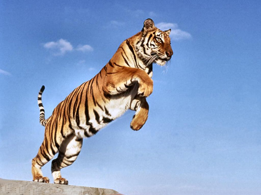 tiger jumping | tiger jump hills | animals in motion | pinterest