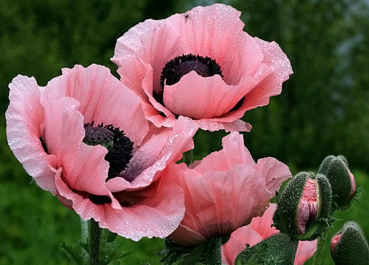 Pink Poppies Flowers Perennials Pinterest Pink Poppies
