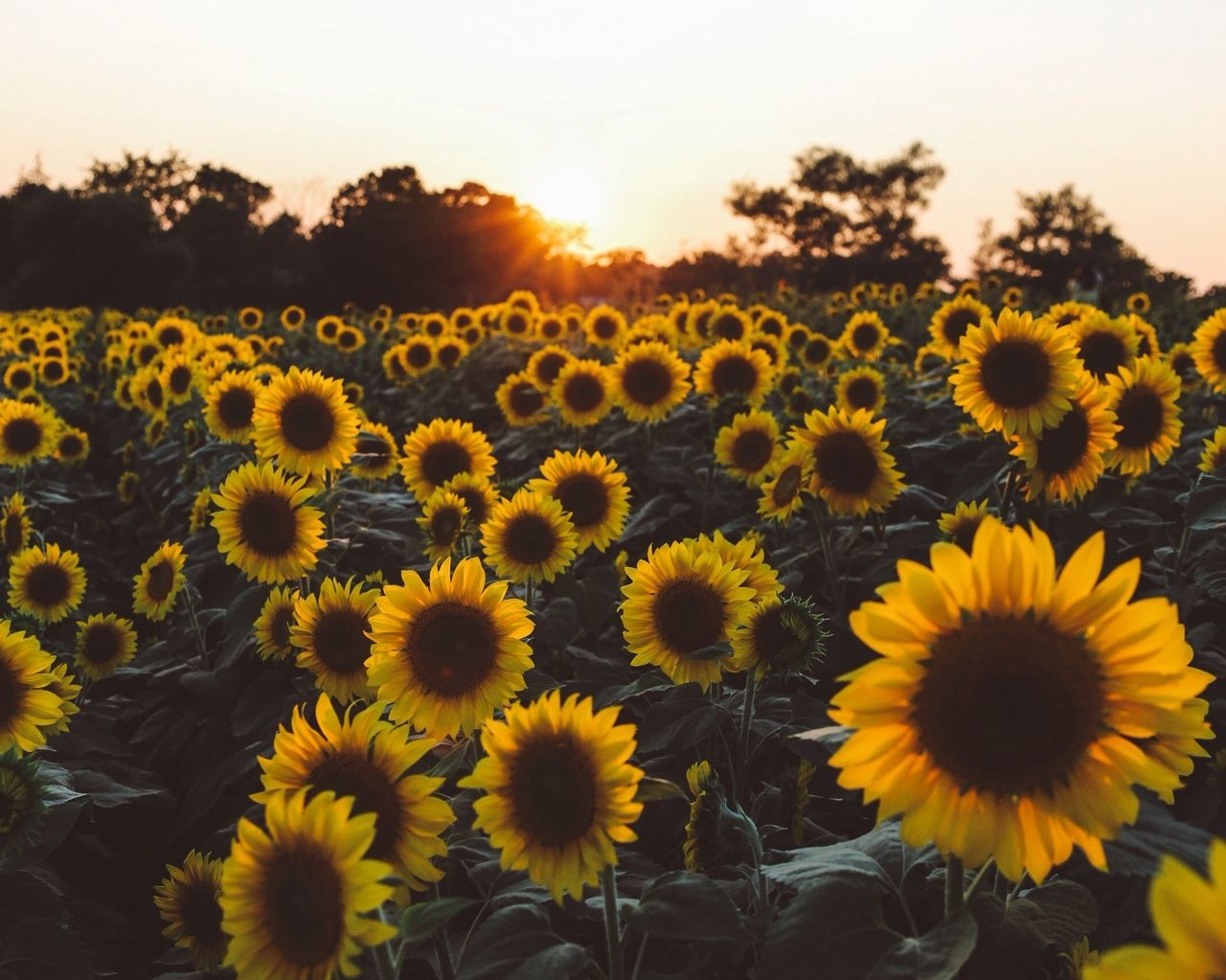 Amazing Wallpaper Macbook Sunflower - 1c308880f92ced0043d88ad79b64ae14  Perfect Image Reference_41774.jpg