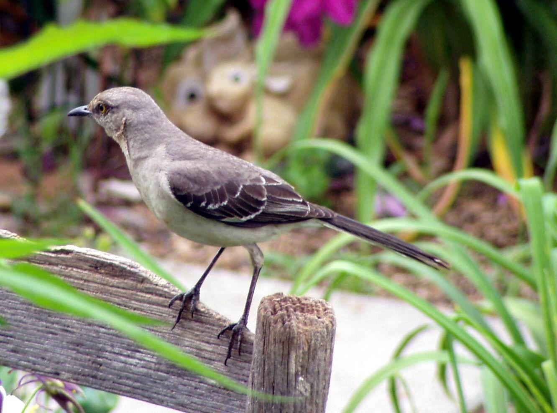 texas state bird mockingbird mother nauture at its finest outdoor