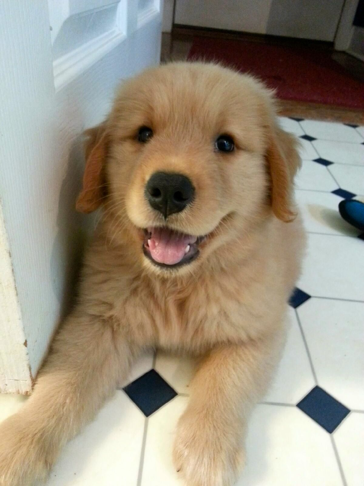 Baby Mason 3 Golden Puppies Cute Puppies