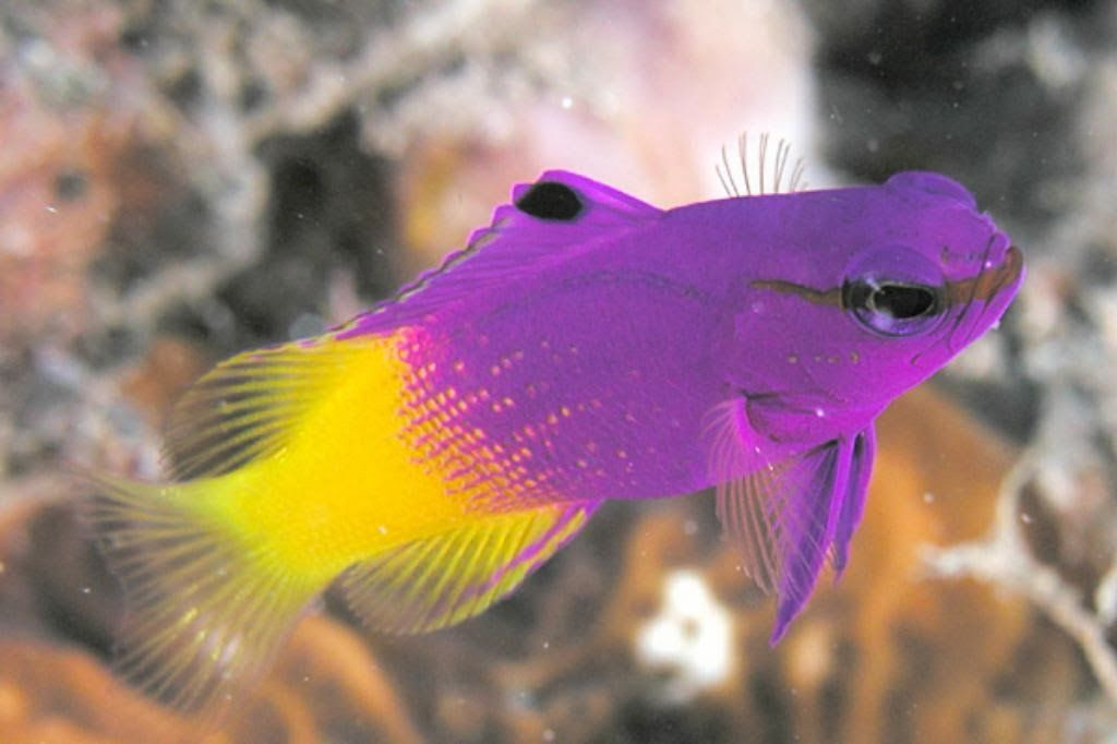 Royal Gamma Fish Saltwater Fish Tanks Marine Fish Marine Aquarium Fish