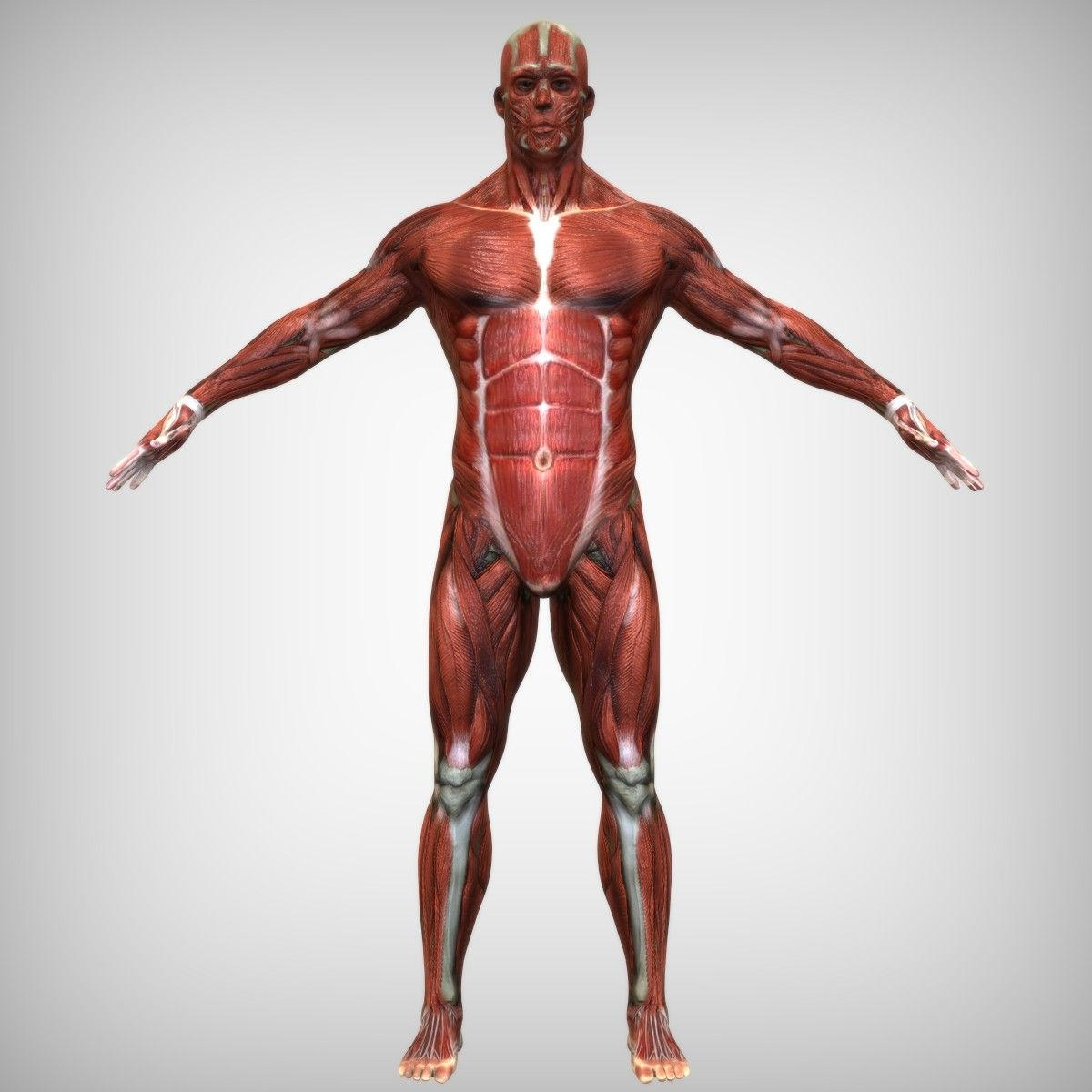3d model muscular male | 3d Anatomy | Pinterest | 3d and 3d anatomy
