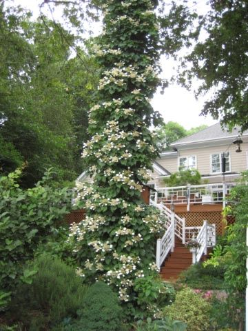 Climbing hydrangea i have the perfect spot for this on a - Ortensia rampicante petiolaris ...