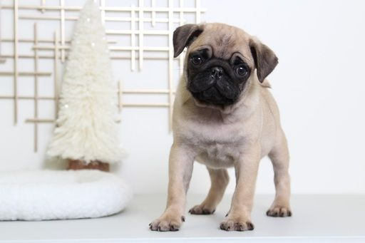 Pug Puppy For Sale In Bel Air Md Adn 54790 On Puppyfinder Com