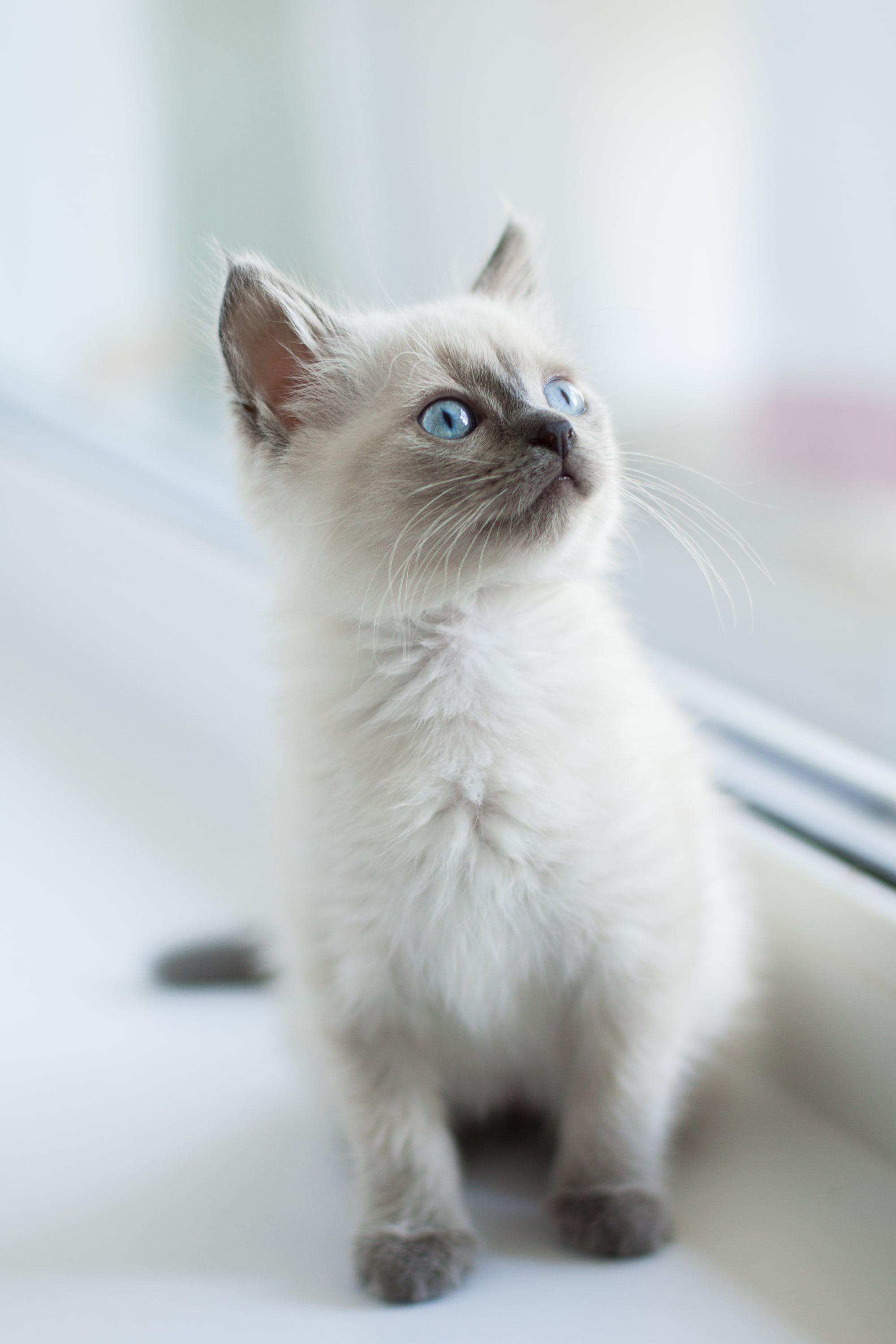 Pin By Lauren Gillies On Kitty From Dream In 2020 Cat With Blue Eyes Cat Pics Cat Lovers