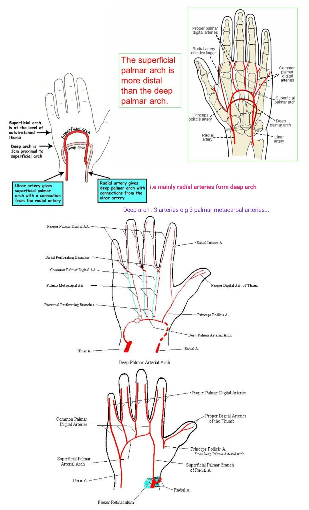 Superficial and Deep palmar arch... ( Deep palmar arch - 3 ...