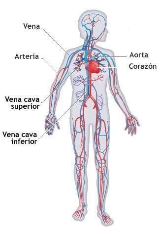 Sistema Circulatorio1 Sistema Circulatorio Sistemas Del Cuerpo