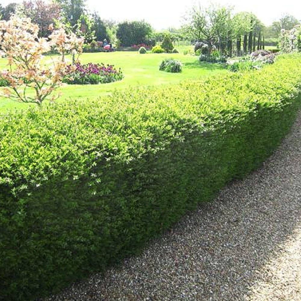 Lonicera nitida hedge plants Hedges, Plants, Garden design