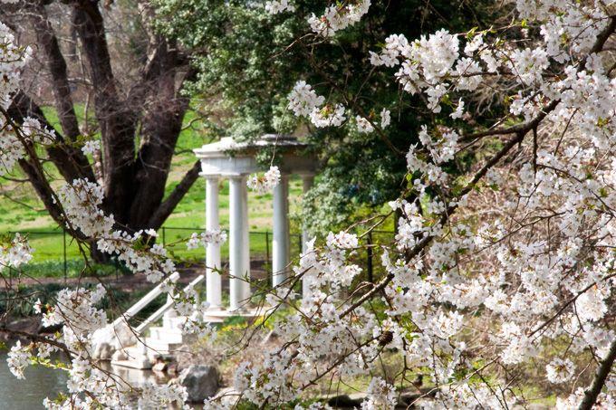 Uwishunu The Best Things To Do In Philadelphia Morris Arboretum Cherry Blossom Festival Blooming Trees