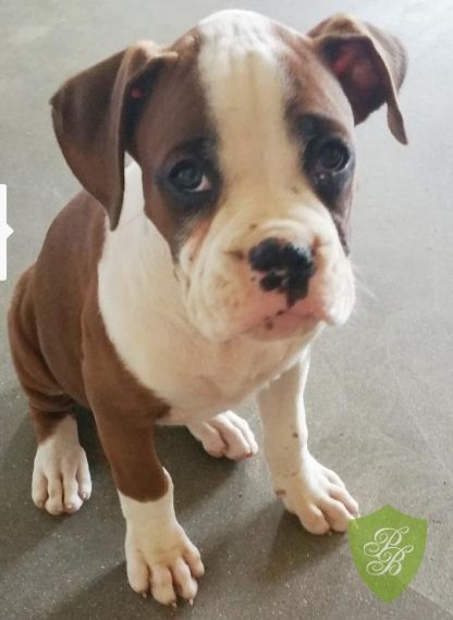 Florida Boxer Breeders Boxer Breeders Dog Heaven Puppies