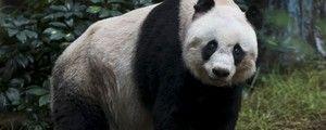 Panda mais velha do mundo fará 37 anos; idade equivale a 100 para nós (Tyrone Siu/Reuters)