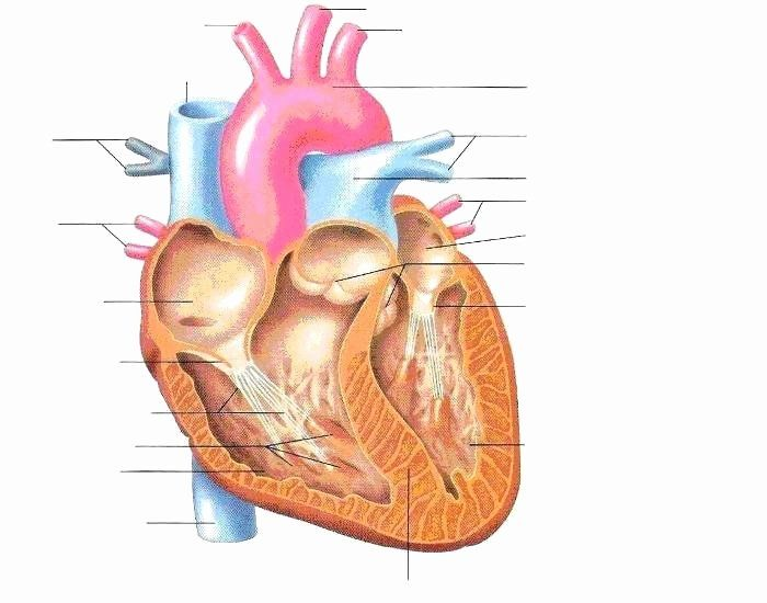 Heart Diagram Worksheet Blank Heart Printable Coloring ...