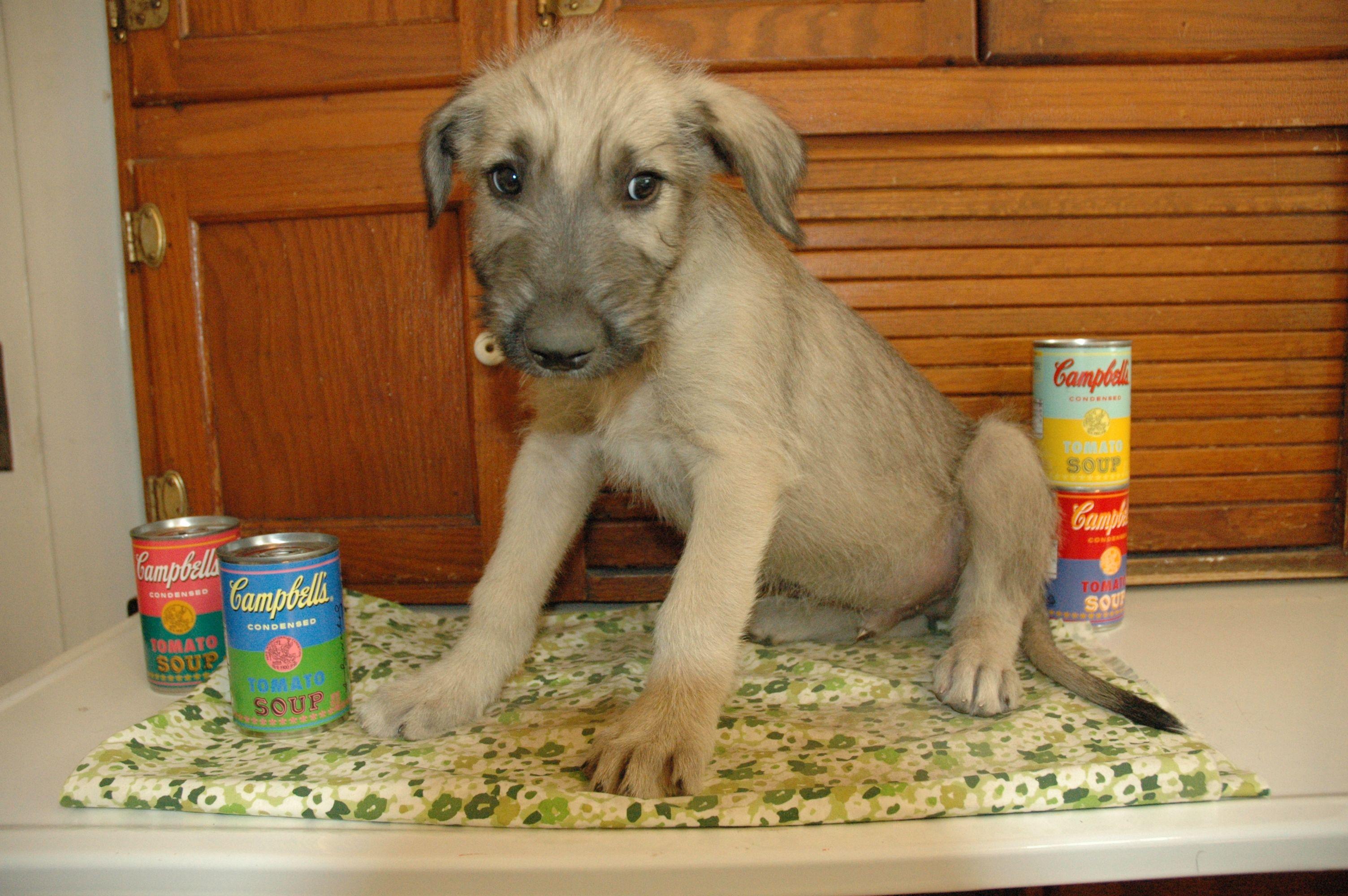 Irish Wolfhound Puppy 7 Weeks Scraggly Jack Irish Wolfhounds