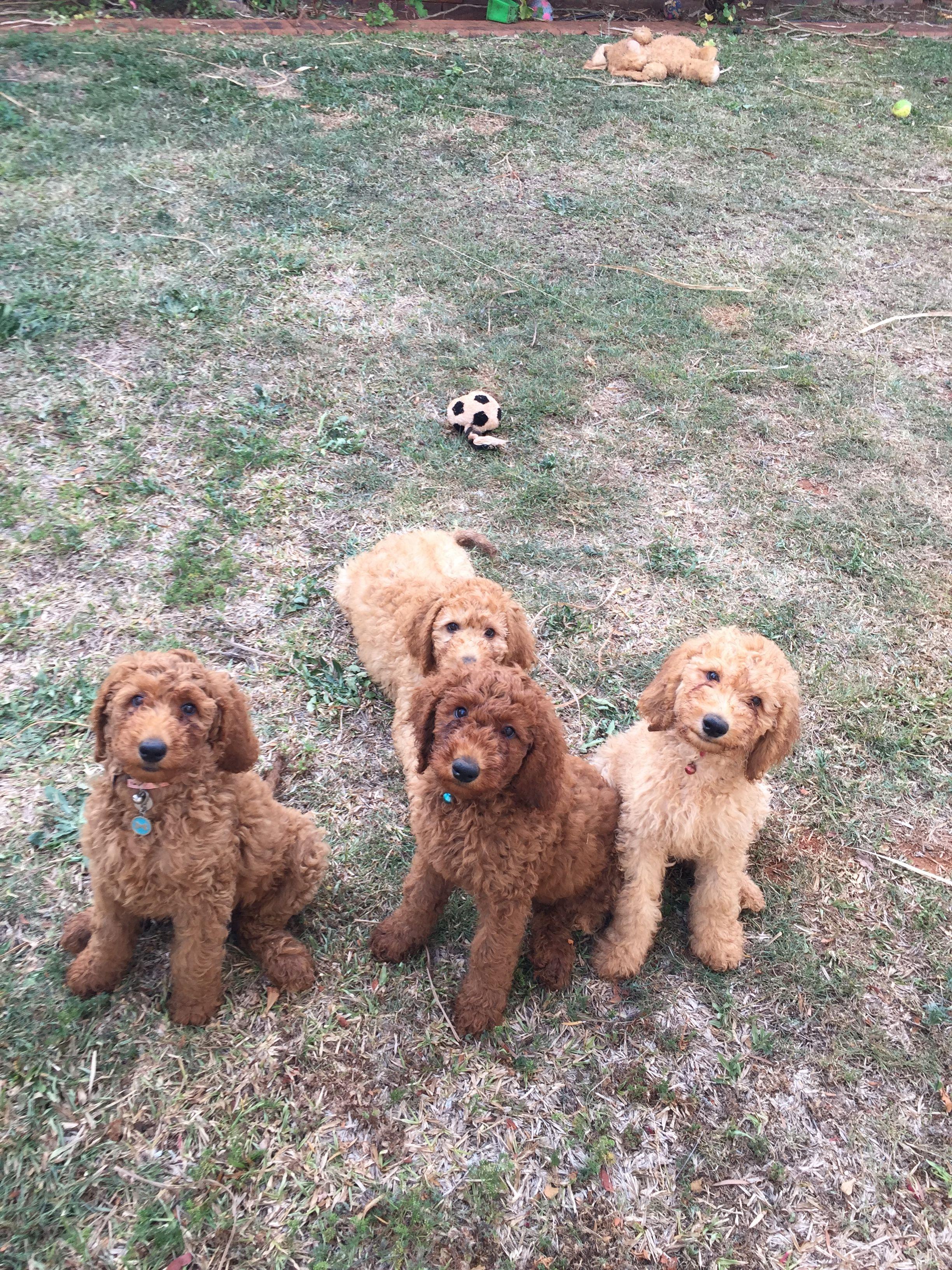 Pin by Pamela Hartman on Standard Poodles Puppies