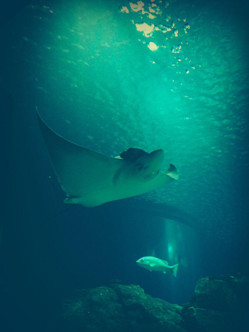 Manta ray - Oceanario de Lisboa