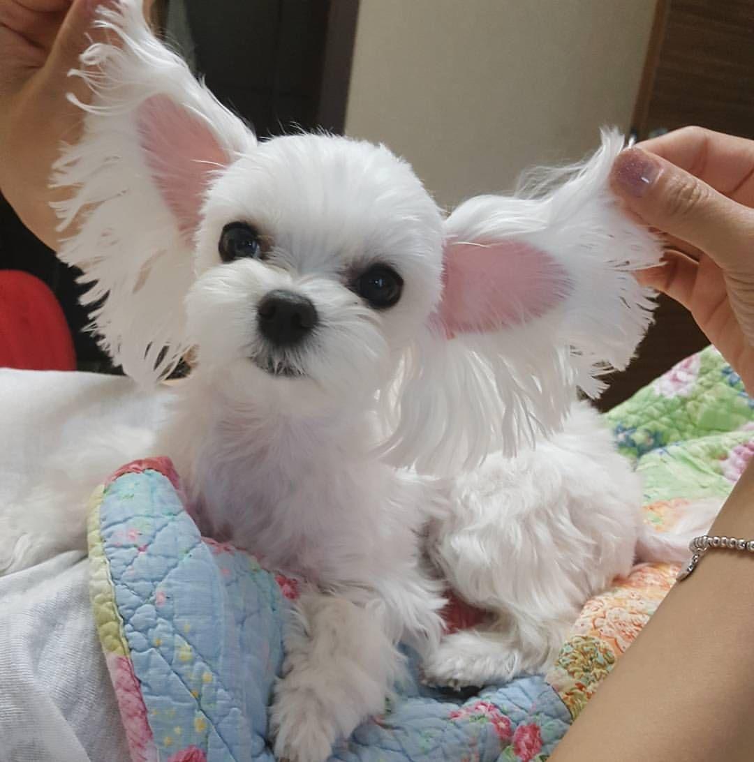 "3,697 Likes, 72 Comments - 솔이 그리고 나 (@evergreen_sol_) on Instagram: ""#기즈모?  솔이는 귀가 좀 큰편이에요 #솔이 #멍스타그램 #견스타그램 #독스타그램 #인스타독 #강아지 #반려견 #말티즈 #puppy #maltese"""