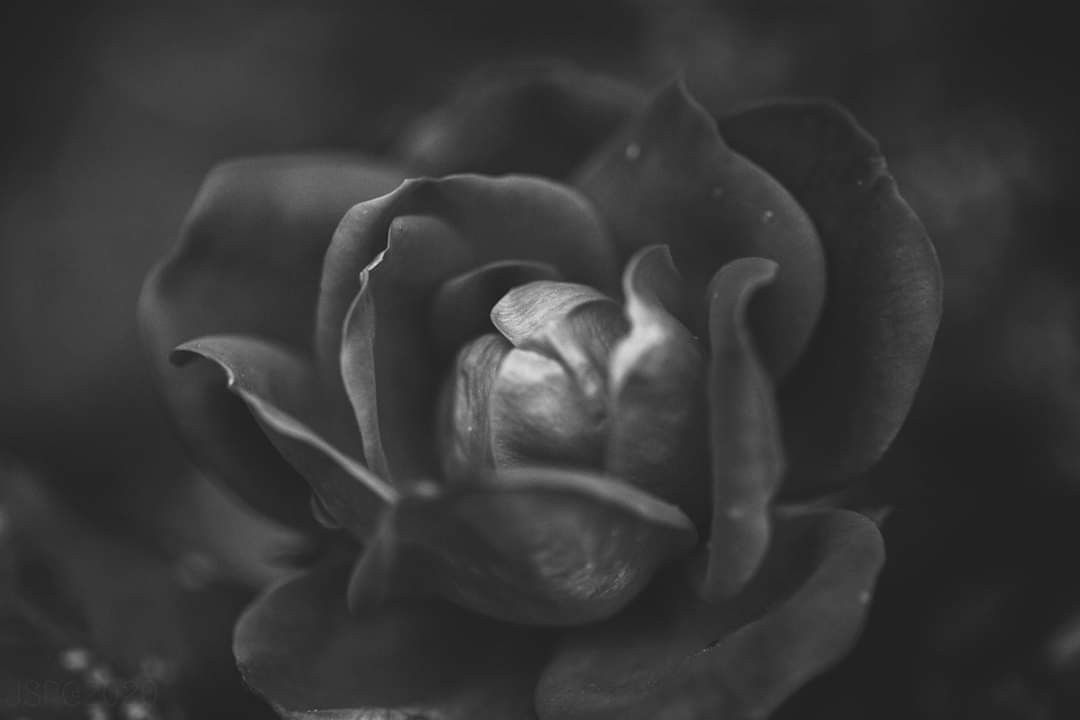 Black and white photography of a rose from my garden #macrophotography
