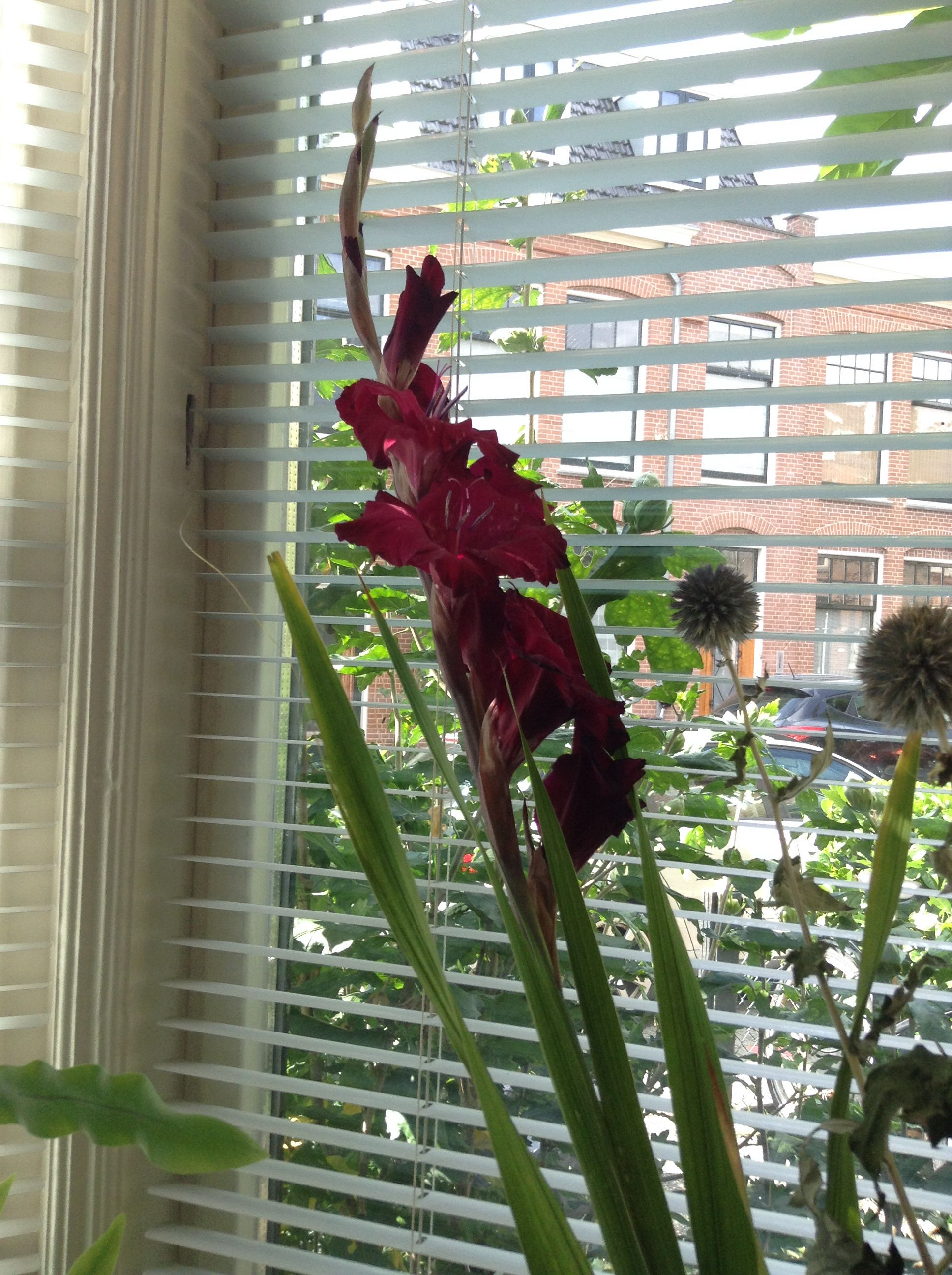 Paarse gladiool uit eigen tuin