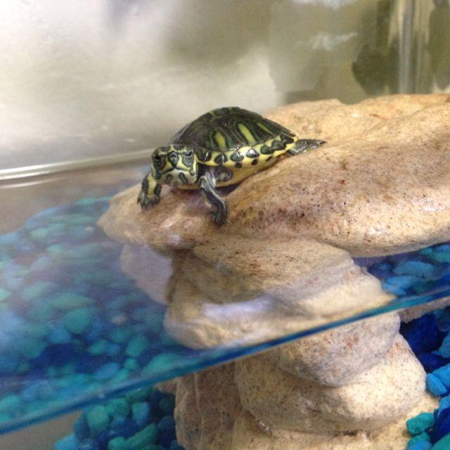 My pet turtle Norman   Pet turtle, Turtle, Turtle love