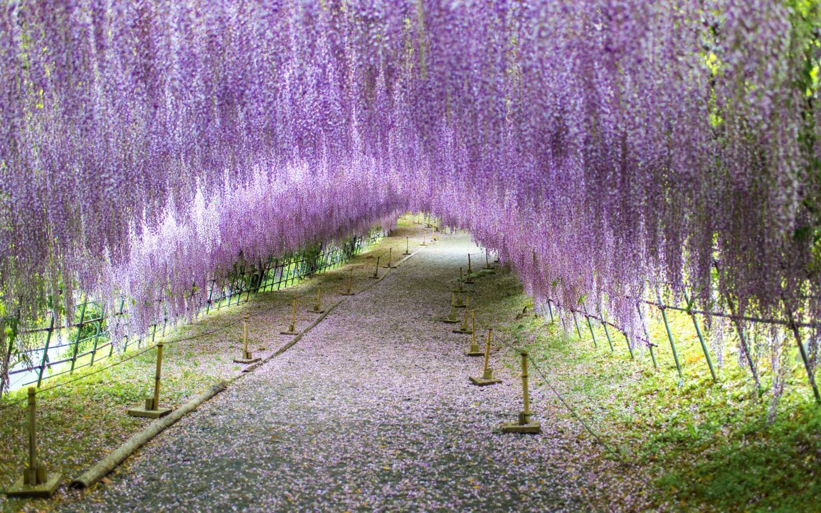 Japan S Wisteria Tunnels Are Even More Magical Than Its Cherry Blossoms Here S Where To See The Best Blooms Wisteria Tunnel Wisteria Wisteria Plant