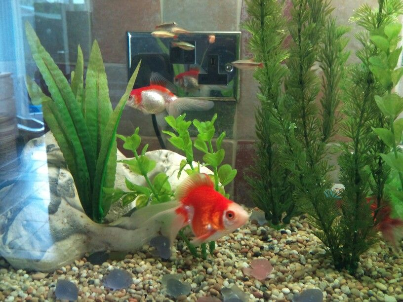 White Cloud Mountain Minnow And Fantail Goldfish