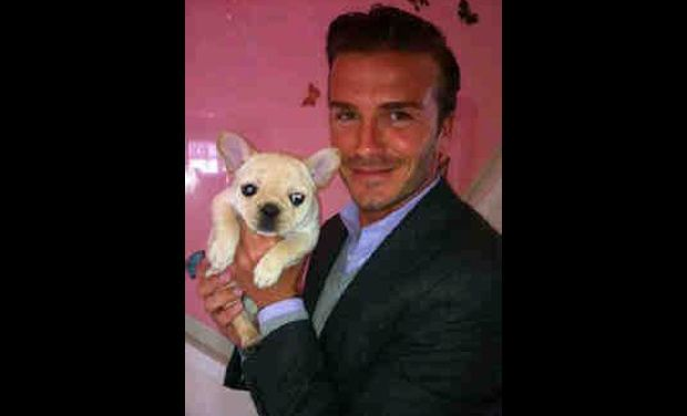 David Beckham His French Bulldog French Bulldog French