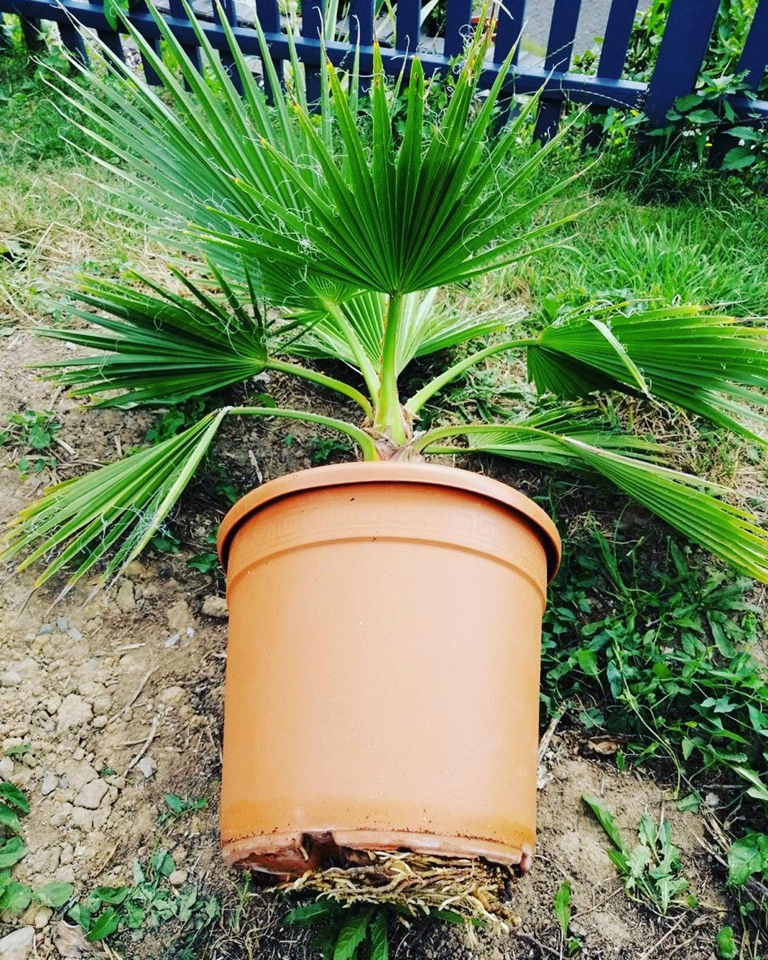 Manchmal Ist Es Zeit Zeit Fur Einen Umzug Diese Washingtonia Hat Sichtbar An Wurzeln Zugelegt Und Wenn Es So Aussieht Muss Garten Ideen Garten Palmen
