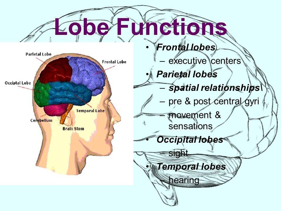 in 2020 | Brain models, Brain structure, Occipital lobe