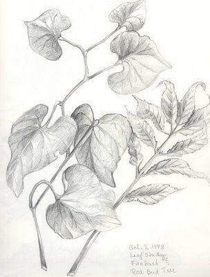 vine+w-leaves-pict.jpg (304×400)   Leaf drawing, Drawings, Pencil ...