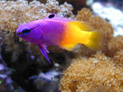Royal Gramma Fish Salt Water Fish Fish Pet